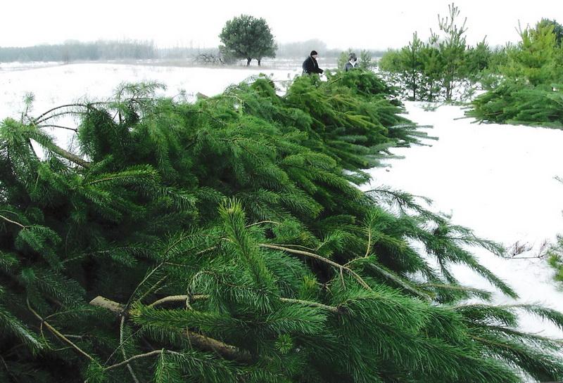 """Ялинки продають метрами. До свят на Прикарпатті зрубають 33 600 дерев -  """"Репортер"""""""