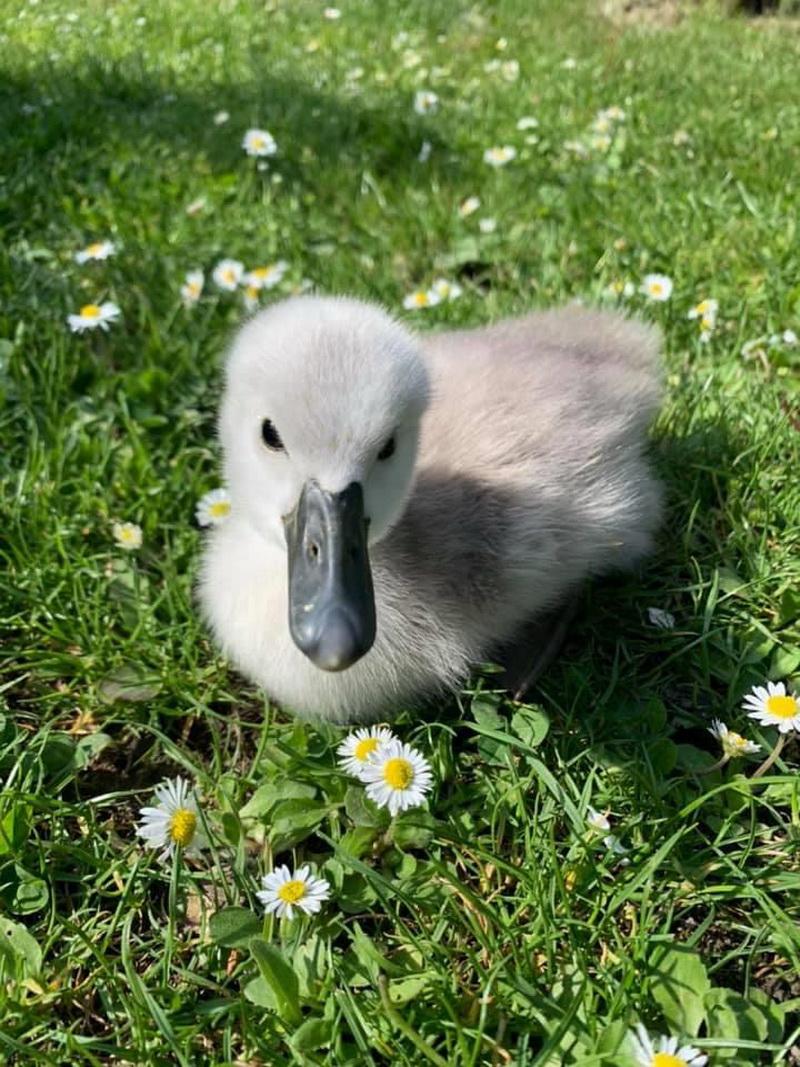 Хто на озері господар або Чому у Франківську не народжуються лебеді: фото