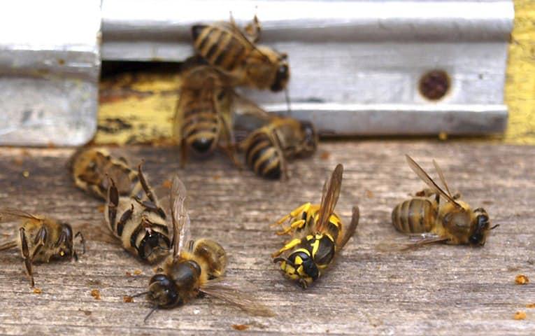 Прикарпатські пасічники розповіли, від чого мруть бджоли та чому це небезпечно і для людей: фото та відео